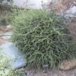 Adenostoma fasciculatum 'Nicolas' - 'Nicolas' Prostrate chamise