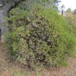 Arctostaphylos densiflora 'Howard McMinn' - Vine hill manzanita 'Howard McMinn'