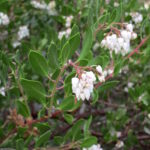 Arctostaphylos densiflora 'Sentinel' - Vine hill manzanita 'Sentinel'