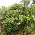 Arctostaphylos crustacea ssp. crustacea - Brittle leaf manzanita