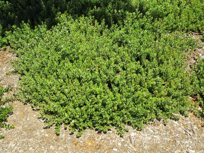 Arctostaphylos edmundsii 'Carmel Sur' - Little sur manzanita 'Carmel Sur'