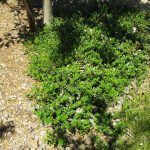 Arctostaphylos 'Emerald Carpet' - 'Emerald carpet' Manzanita