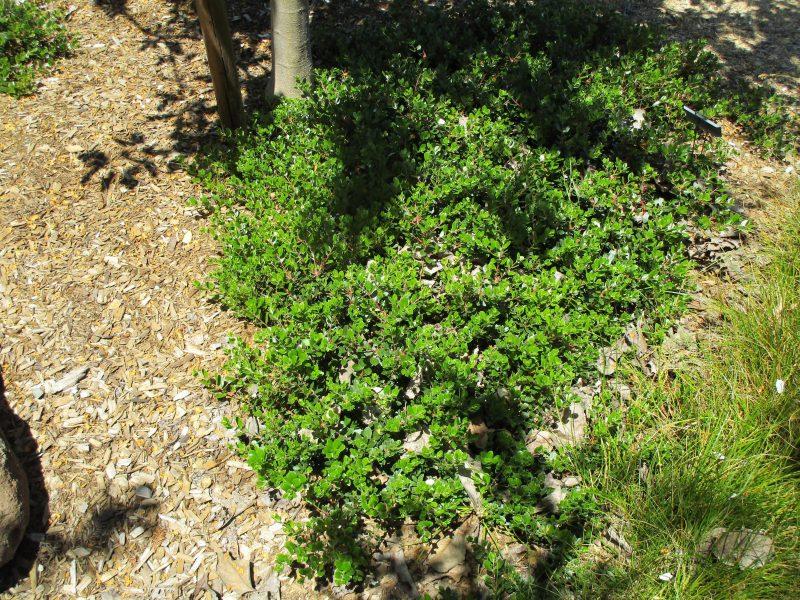 Arctostaphylos 'Emerald Carpet' - 'Emerald carpet' Manzanita