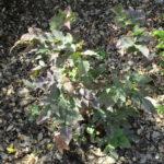 Berberis aquifolium var repens - Creeping oregon grape
