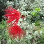 Calliandra californica - Red fairy duster