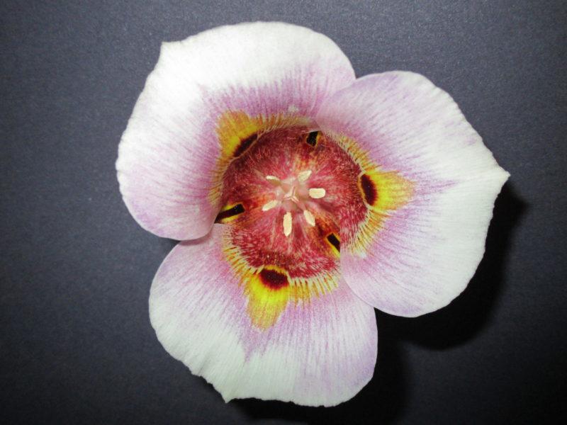 Calochortus argillosus - Clay mariposa