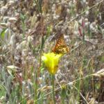 Calochortus luteus - Yellow mariposa lily