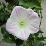 Calystegia macrostegia 'Anacapa pink' - 'Anacapa pink' island morning glory'