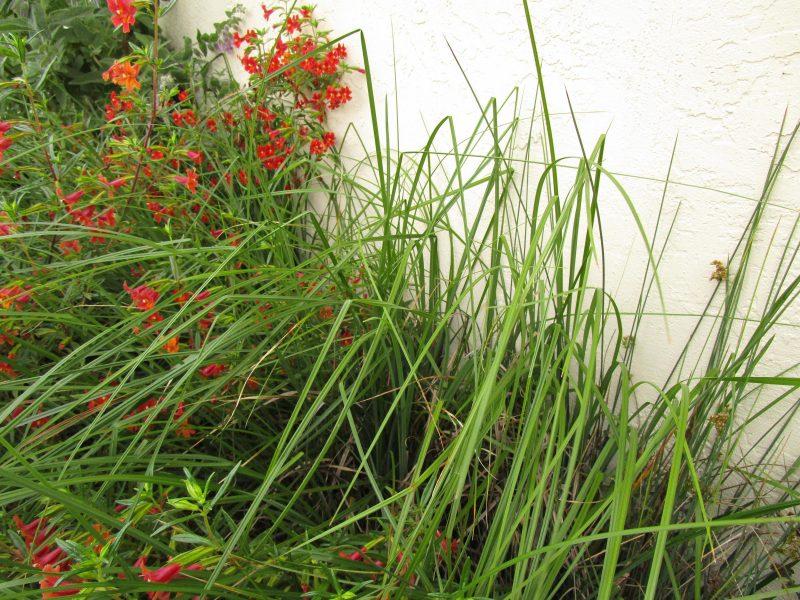Carex barbarae - Santa Barbara sedge