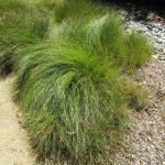 Carex pansa - Dune sedge