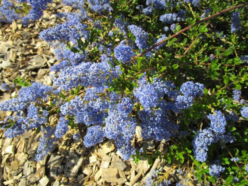 Ceanothus 'Blue cushion' - 'Blue cushion' california lilac