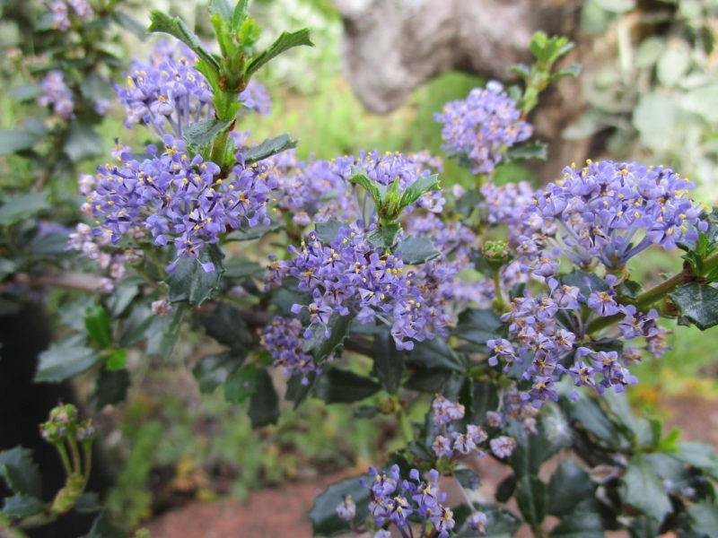 Ceanothus 'Blue jeans' - 'Blue jeans' california lilac