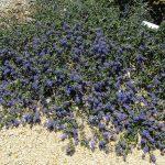 Ceanothus 'centennial' - 'Centennial' California lilac