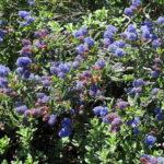 Ceanothus 'Concha' - 'Concha' california lilac