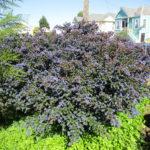 Ceanothus 'Dark star' - 'Dark star' California lilac