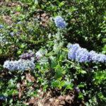 Ceanothus 'Frosty blue' - 'Frosty blue' California lilac