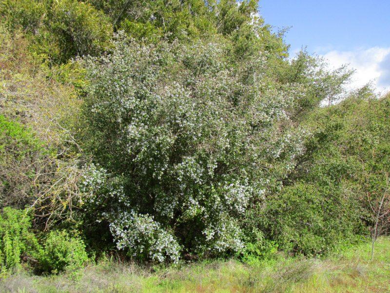 Ceanothus oliganthus var. sorediatus - Jim bush