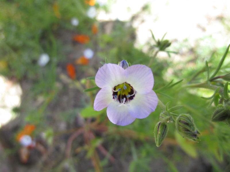 Gilia tricolor - Birdseye gilia