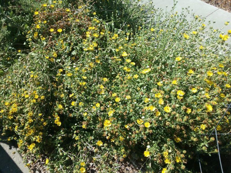 Grindelia camporum - Common gumplant
