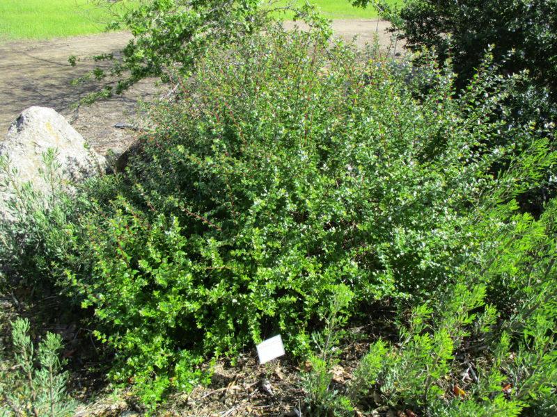 Keckiella cordifolia - Heartleaf keckiella