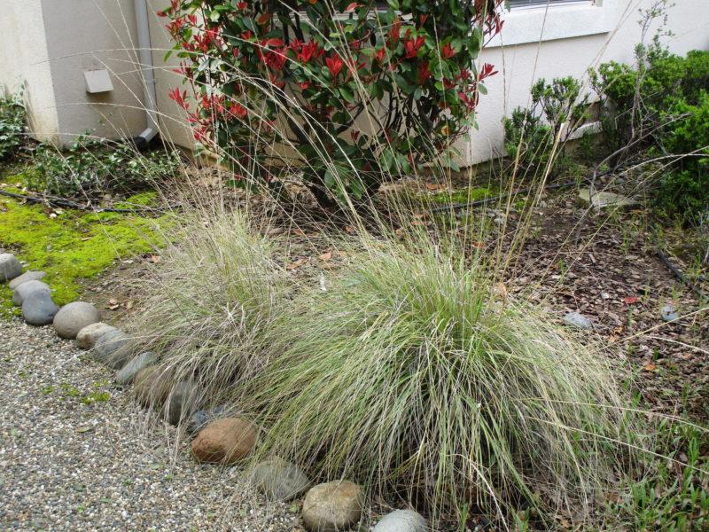 Muhlenbergia rigens - Deer Grass