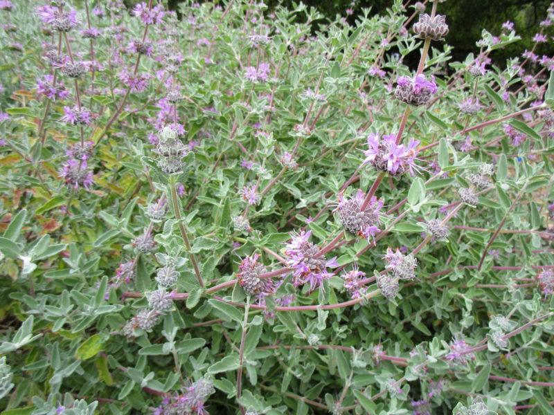 Salvia leucophylla 'Amethyst bluff' - Purple sage 'Amethyst Bluff'