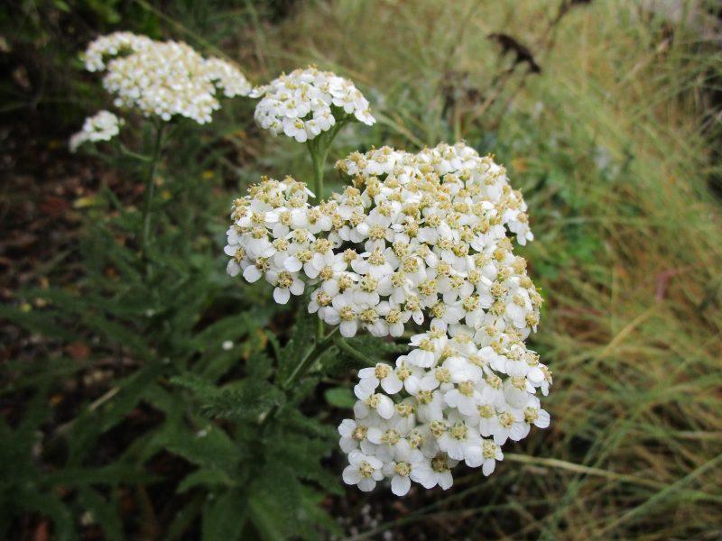 Achillea millefolium - Yarrow