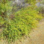 Acmispon glaber - Deer weed