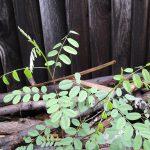 Amorpha californica - False indigo