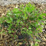 Arctostaphylos hookeri ssp franciscana - Franciscan manzanita