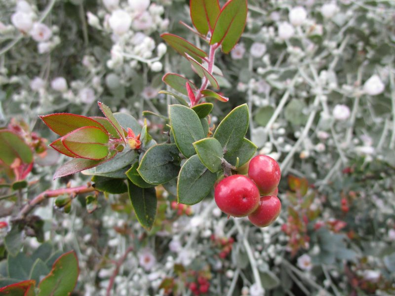Arctostaphylos 'Lester Rowntree' - 'Lester Rowntree' manzanita