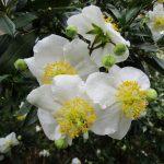 Carpenteria californica - Bush anemone