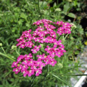 Achillea millefolium 'Island pink' - 'Island Pink' Yarrow