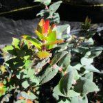 Arctostaphylos pajaroensis 'Warren Roberts' - Pajaro manzanita 'Warren Roberts'