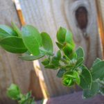 Arctostaphylos viridissima - Santa Cruz Island manzanita