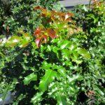 Berberis aquifolium - Oregon grape