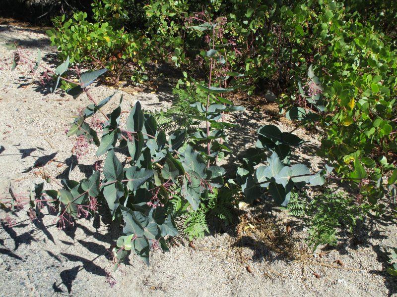 Asclepias cordifolia - Heartleaf milkweed