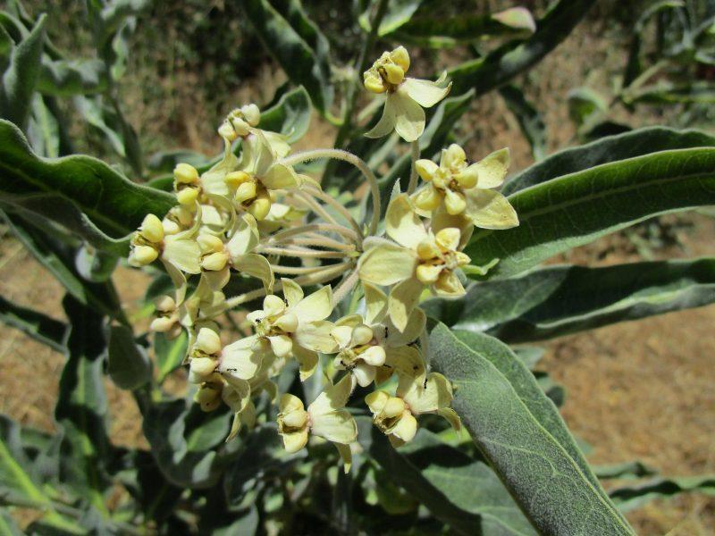 Asclepias eriocarpa - Kotolo milkweed