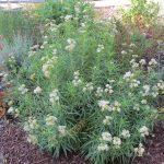 Asclepias fascicularis - Narrow leaf milkweed
