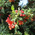 Berberis nevinii - Nevin's barberry