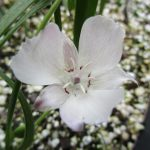 Calochortus umbellatus - Oakland star tulip