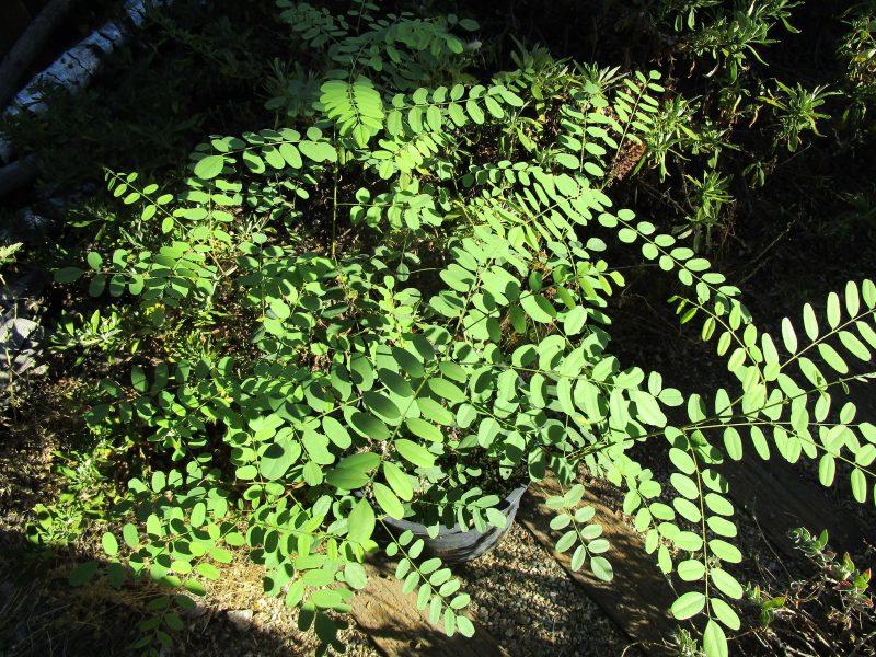 Amorpha fruiticosa - Western false indigo