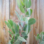 Arctostaphylos otayensis - Otay Mountain manzanita