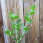 Arctostaphylos purissima 'Vandenberg' - 'Vandenberg' Purissima manzanita
