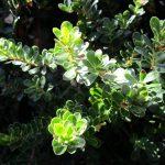 Arctostaphylos uva-ursi 'Point Reyes' - 'Point Reyes' Bearberry