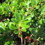 Arctostaphylos uva-ursi 'Wood's compact' - 'Wood's compact' Bearberry