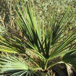 Brahea armata - Mexican blue palm
