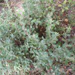 Arctostaphylos pumila - Sandmat manzanita