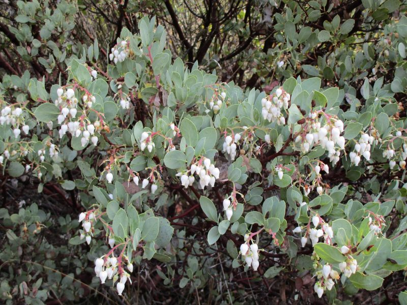 Arctostaphylos glauca - Bigberry manzanita