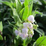 Arctostaphylos 'Lutsko's pink' - 'Lutsko's pink' manzanita
